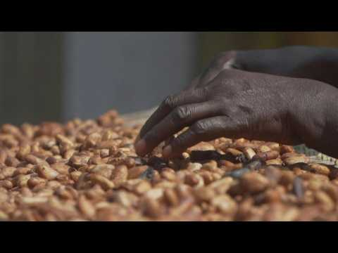 'No future in cocoa' - small farmers in Ghana decry low prices amid spat with chocolate giants