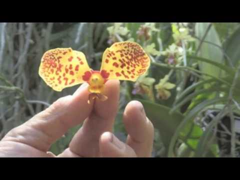 "Jay Pfhal, an ""orchidolic"""